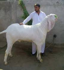 Name: Goat 1.jpg Views: 36 Size: 4.9 KB